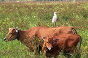 Hubungan Petani dan Kuntul Kerbau Saling Menguntungkan, Ini Sebabnya