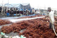 500 Hektar Tambak Terbengkalai di Nunukan Ditanami Rumput Laut