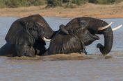 Serba Serbi Hewan: Gajah dan Manusia Siapa Paling Jago Renang?