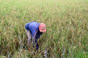 Cerita Petani yang Gagal Panen Padi karena Virus Klowor