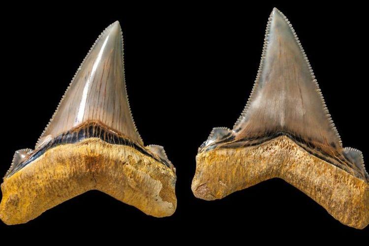 Fosil gigi hiu purba, Carcharocles angustidens