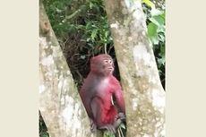 Disiram Cat Merah oleh Orang Iseng, Monyet Ini Disingkirkan Kawanannya