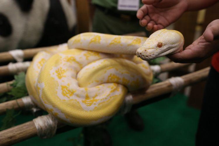 Ular phyton di Indo Pet Expo