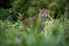 Hendak 'Selfie', Perempuan AS Diterkam Jaguar Kebun Binatang