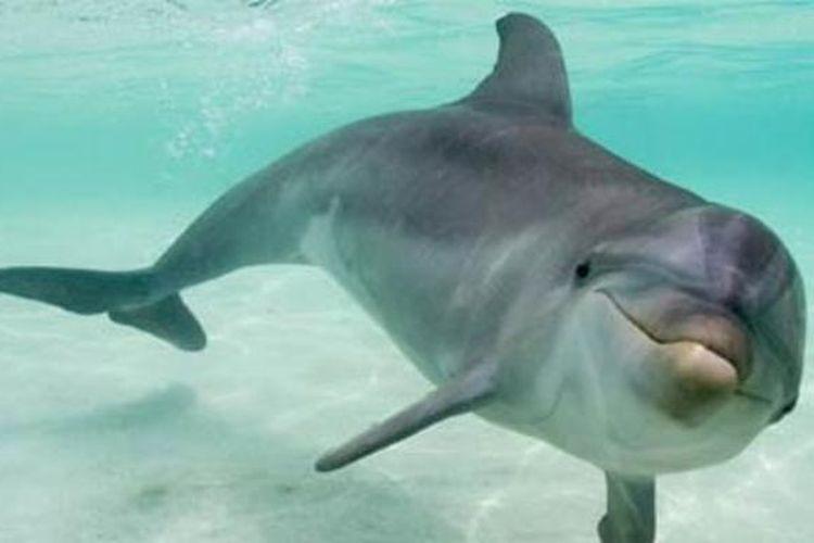 Lumba-lumba hidung botol.