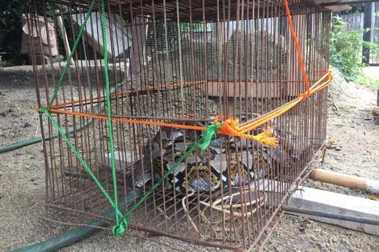 Ular sanca batik ditemukan warga Jalan Katimpalaza RT 5 RW 7, Kampung Duren, Kalimulya, Cilodong, Depok, Kamis (8/11/2018).
