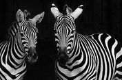 Garis Hitam-Putih Zebra Jadi Rahasia Hindari Gigitan Serangga