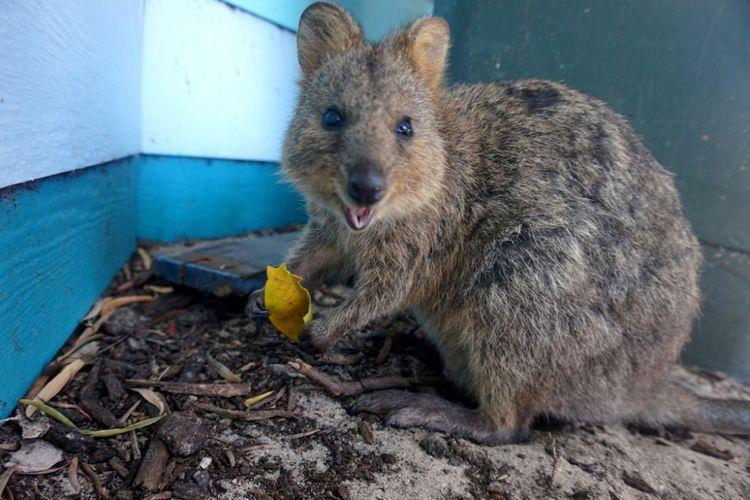 Seekor quokka di Pulau Rottnest, Australia Barat. Foto diambil pada Jumat (9/2/2018).