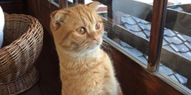 Di Cat Apartment Coffee, Kyoto, Jepang, kita juga bisa melihat kelakuan lucu kucing yang penasaran dengan pemandangan di luar dan berdiri untuk melihatnya dari jendela.