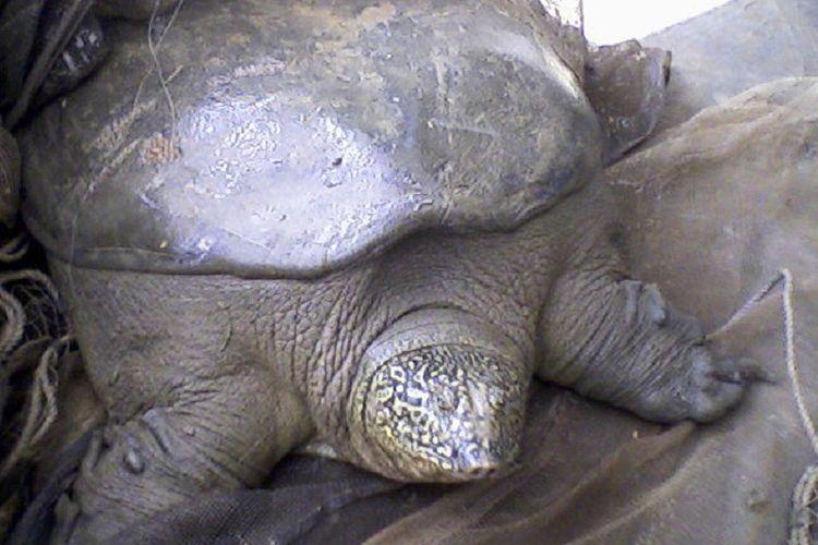 Kura-kura tempurung lunak Yangtze yang amat langka.