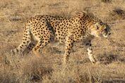 Berkat Telinga, Cheetah Bisa Berlari Kencang Tanpa Oleng