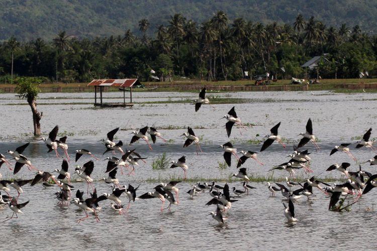 Sekumpulan burung migran mendatangi Danau Limboto, Gorontalo.