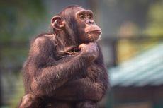 Karena Ulah Tamu Kebun Binatang, Simpanse