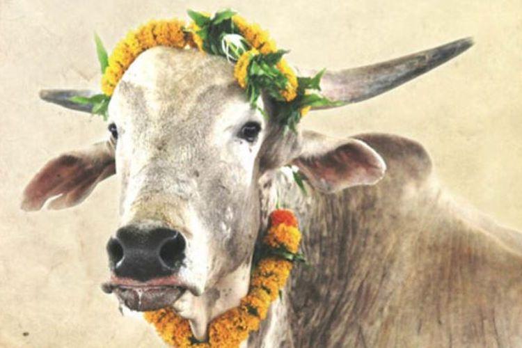 Foto sapi jantan bernama Merry yang terpasang pada sertifikat adopsi. Sapi India itu telah dihadiahkan kepada pasangan pengantin kerajaan Inggris, Pangeran Harry dan Meghan Markle.