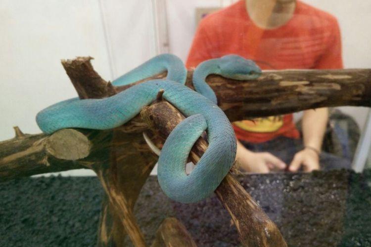 Ular viper di Indo Pet Expo