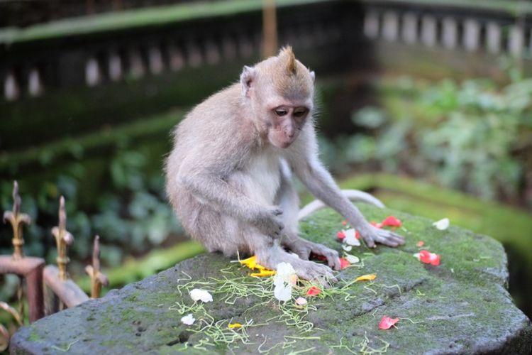 Seekor monyet dengan bunga persembahan di area gapura pura Monkey Forest.