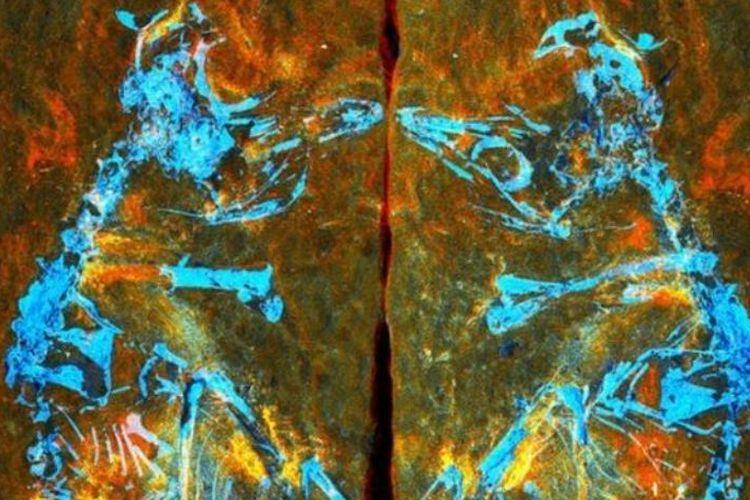 Fosil bayi burung/BBC
