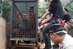 Kisah Orangutan Diimbah dan Hamidah yang Bertukar Tempat dengan 2 Harimau