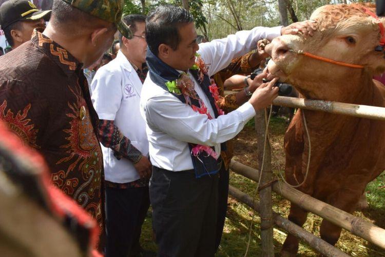 Menteri Pertanian Andi Amran Sulaiman memeriksa sapi unggulan saat panen pedet di di Kabupaten Bulukumba, Sulawesi-Selatan pada Kamis (26/4/2018).