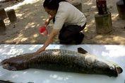 Di Batam, Ikan Arapaima Jadi Idola Pengunjung Hutan Wisata Mata Ku   cing