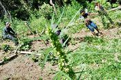 Polisi Temukan 7 Hektar Ladang Ganja di Aceh