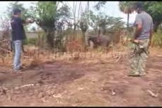 Mengamuk dan Melukai 3 Warga, Seekor Kerbau Ditembak Polisi