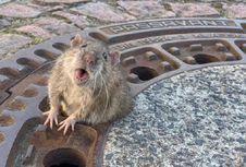 Terjebak di Tutup Got, Tikus Gemuk Ini Diselamatkan dalam Operasi Gabungan