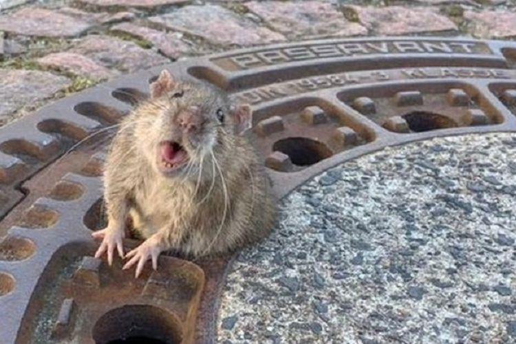 Seekor tikus yang terjebak di tutup got kota Bensheim, Jerman, pada pekan lalu. Tikus itu akhirnya bebas setelah diselamatkan gabungan tim pemadam kebakaran dan penyelamat binatang.