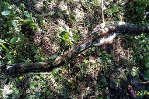 Kekenyangan seusai Telan Kambing, Ular Piton 4 Meter Dibunuh Warga