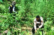 Dimusnahkan, Tanaman Ganja di Atas 10 Hektar Ladang di Aceh