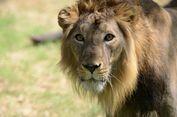 Belasan Ekor Singa Mati dalam 10 Hari, Otoritas India Gelar Penyelidikan