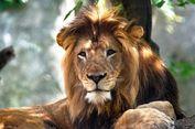 8 Tahun Hidup Bersama, Singa Betina di Kebun Binatang Bunuh Pasangannya