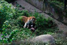 Di Hadapan Pengunjung, Harimau Siberia Serang Staf Kebun Binatang