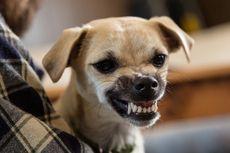 Jelang Piala Dunia 2018, Rusia Musnahkan Banyak Anjing Liar