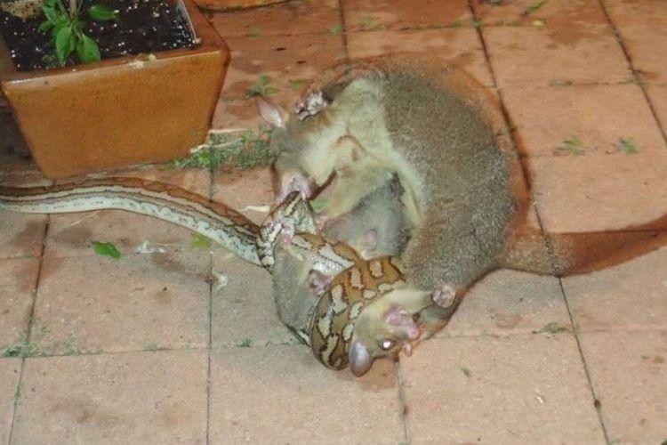 Seekor posum mencakar dan menggigit ular piton demi selamatkan anaknya.
