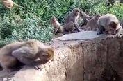 Belasan Monyet India Selamatkan Macan Tutul yang Jatuh ke Dalam Sumur