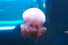 Jellyfish Sphere, Wahana Baru dari Kemunculan Ubur-ubur di Pantai Ancol