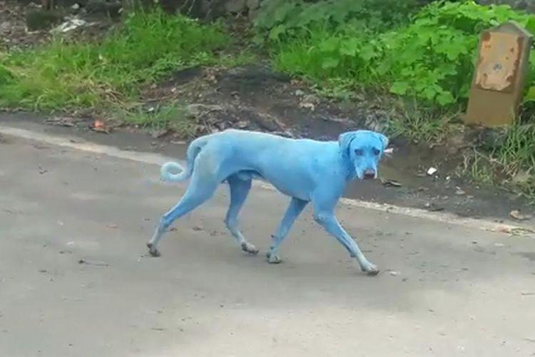 Beberapa anjing liar di Taloja, kawasan industri di Mumbai, India, yang berkeliaran dengan warna bulu biru cerah.
