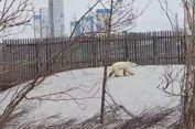 Kelaparan, Seekor Beruang Kutub Ditemukan Berkeliaran di Siberia