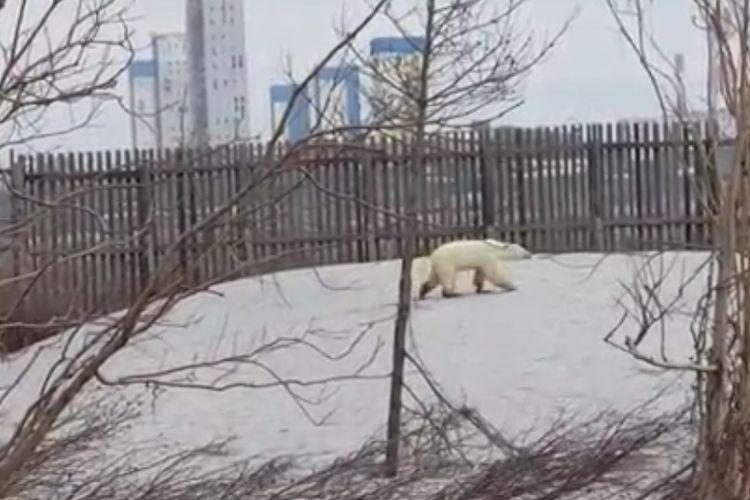 Beruang kutub tersesat di kota Norilsk, Siberia utara, Selasa (18/6/2019).