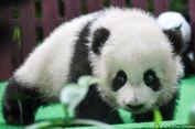 Bayi Panda Kelahiran Kebun Binatang Malaysia Tampil Perdana di Depan Publik