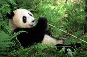 Perawat Harus 'Menipu' Ibu Panda bila Lahirkan Bayi Kembar, untuk Apa?