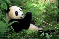 Dahulu, Selain Makan Bambu, Panda Juga Makan Daging