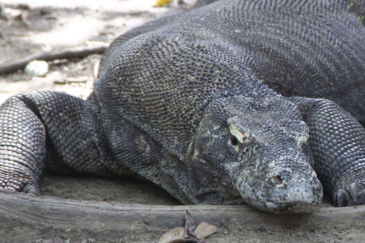 Komodo di Taman Nasional Komodo, Resort Loh Buaya, Pulau Rinca, Kabupaten Manggarai Barat, Nusa Tenggara Timur, Sabtu (10/5/2014).