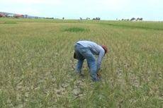 Ratusan Hektare Padi di Polman Gagal Panen karena Kekeringan