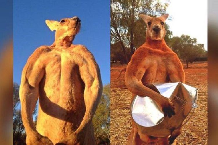 Inilah roger, seekor kanguru yang mencuri perhatian karena badannya yang berotot. Foto kanan ketika Roger meremukkan ember besi.