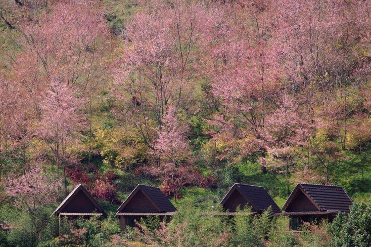 Pemandangan sakura bermekaran di Khun Chang Khian Highland Agriculture Research Centre, Thailand.