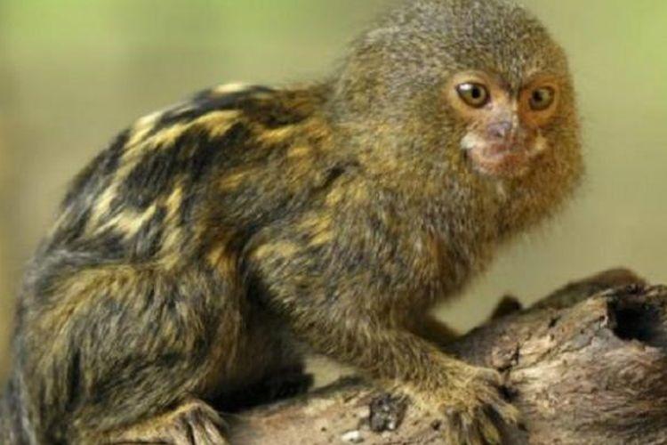 Kesepakatan tentang pygmy marmoset dicapai sebelum maraknya sengketa diplomatik.