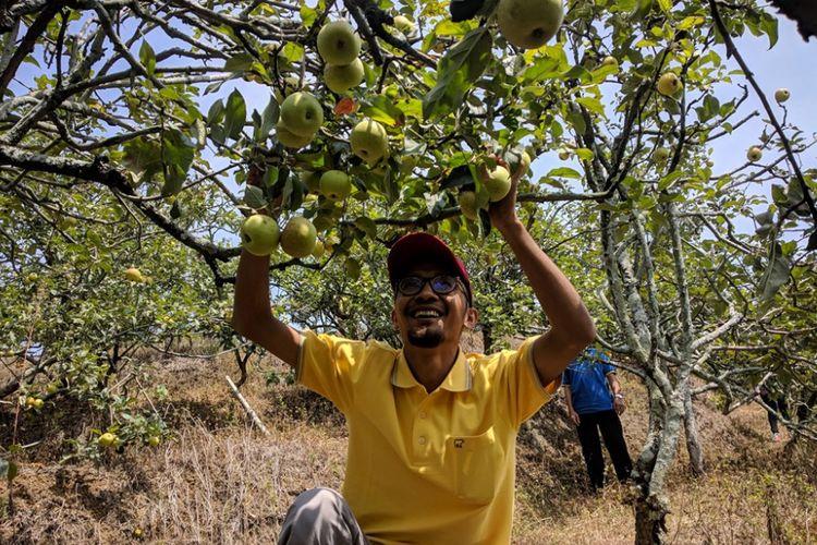 Wisatawan memanen buah apel di Desa Sumber Kondo, Kecamatan Bumi Aji, Kota Batu, Jawa Timur, Sabtu (20/10/2018).