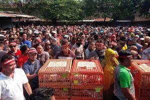 Kesal Harga Anjlok, Peternak Bagikan 1.500 Ayam Gratis